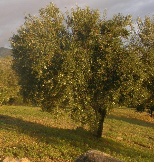 Tipos de aceite de oliva